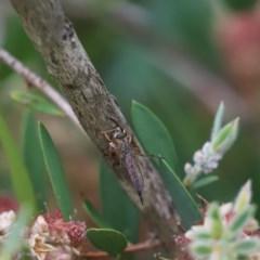 Cerdistus sp. (genus) (Robber fly) at Cook, ACT - 29 Nov 2020 by Tammy