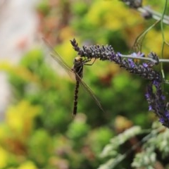 Adversaeschna brevistyla (Blue-spotted Hawker) at Cook, ACT - 30 Nov 2020 by Tammy