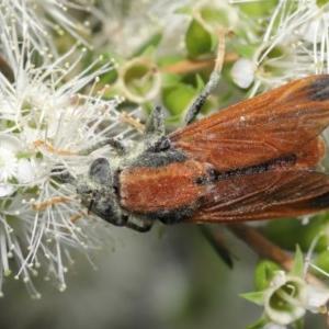 Pelecorhynchus fulvus at Acton, ACT - 29 Nov 2020