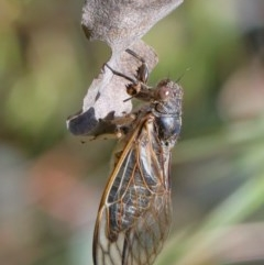 Myopsalta waterhousei (Smoky Buzzer) at Dryandra St Woodland - 30 Nov 2020 by ConBoekel