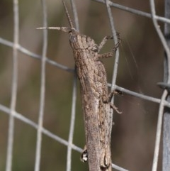 Coryphistes ruricola (Bark grasshopper) at ANBG - 1 Dec 2020 by TimL