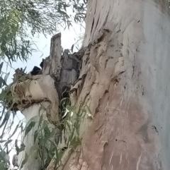 Apis mellifera (European honey bee) at Australian National University - 2 Dec 2020 by coatesj