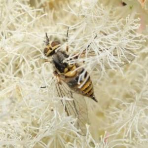 Australiphthiria hilaris at ANBG - 1 Dec 2020