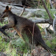 Wallabia bicolor (Swamp Wallaby) at Mount Majura - 1 Dec 2020 by sbittinger