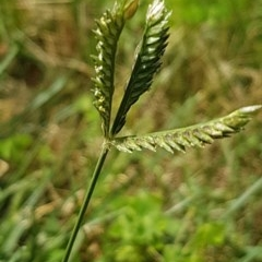 Eleusine tristachya (Goose Grass, Crab Grass) at Griffith, ACT - 2 Dec 2020 by SRoss