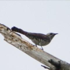 Chrysococcyx basalis (Horsfield's Bronze-Cuckoo) at Stony Creek - 1 Dec 2020 by Ct1000