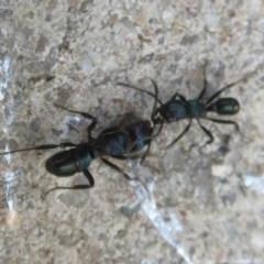 Rhytidoponera metallica (Greenhead ant) at Flynn, ACT - 2 Dec 2020 by Christine