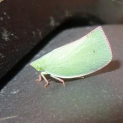 Siphanta acuta (Green planthopper, Torpedo bug) at Flynn, ACT - 1 Dec 2020 by Christine