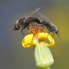 Geron sp. (genus) (Slender Bee Fly) at Acton, ACT - 24 Nov 2020 by TimL