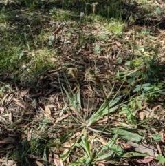 Plantago lanceolata (Ribwort Plantain) at Mount Majura - 1 Dec 2020 by abread111