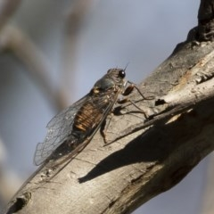 Yoyetta sp. cf tristrigata (Southern Ticking Ambertail) at Illilanga & Baroona - 1 Dec 2020 by Illilanga