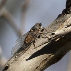 Yoyetta sp. cf tristrigata (Southern Ticking Ambertail) at Michelago, NSW - 1 Dec 2020 by Illilanga