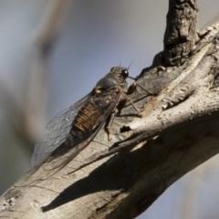 Yoyetta sp. cf tristrigata at Michelago, NSW - 2 Dec 2020