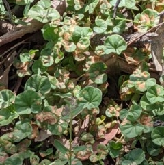 Dichondra repens (Kidney Weed) at Mount Majura - 1 Dec 2020 by abread111