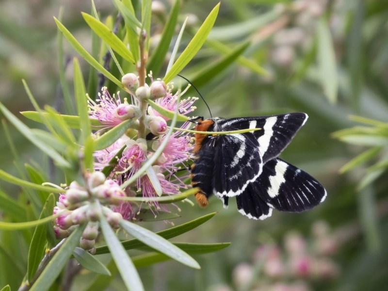 Phalaenoides glycinae at Michelago, NSW - 22 Nov 2020