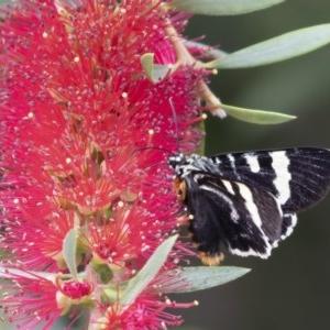 Phalaenoides glycinae at Illilanga & Baroona - 22 Nov 2020