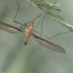 Leptotarsus (Macromastix) costalis (Common Brown Crane Fly) at Acton, ACT - 2 Dec 2020 by AlisonMilton