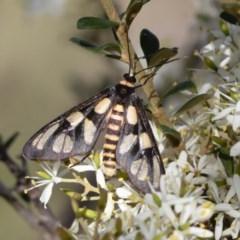 Amata (genus) (Handmaiden) at Illilanga & Baroona - 18 Apr 2020 by Illilanga