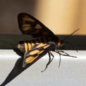 Amata (genus) at Michelago, NSW - 3 Dec 2018
