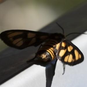 Amata (genus) at Illilanga & Baroona - 3 Dec 2018