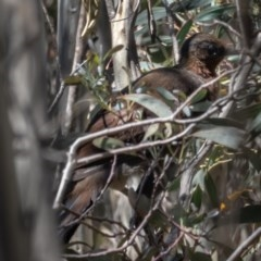 Menura novaehollandiae (Superb Lyrebird) at Cotter River, ACT - 26 Nov 2020 by trevsci