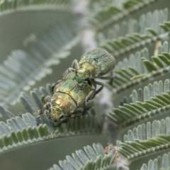 Diphucephala sp. (genus) (Green Scarab Beetle) at Acton, ACT - 2 Dec 2020 by AlisonMilton