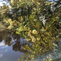 Acacia mearnsii (Black Wattle) at Mount Majura - 1 Dec 2020 by abread111
