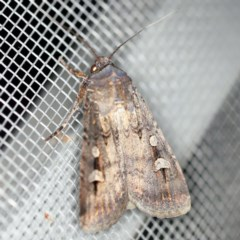 Agrotis infusa (Bogong Moth, Common Cutworm) at O'Connor, ACT - 2 Dec 2020 by ibaird