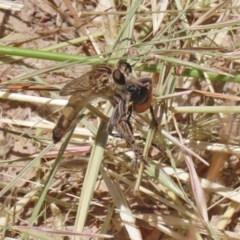 Bathypogon sp. (genus) (A robber fly) at Bonython, ACT - 2 Dec 2020 by RodDeb