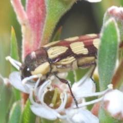 Castiarina decemmaculata (Ten-spot Jewel Beetle) at Gossan Hill - 30 Nov 2020 by Harrisi
