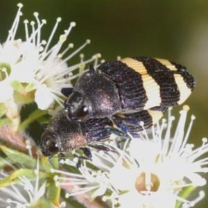 Castiarina vicina at Mount Jerrabomberra - 30 Nov 2020