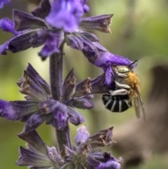Amegilla (Notomegilla) chlorocyanea (Blue Banded Bee) at Penrose - 2 Dec 2020 by Aussiegall