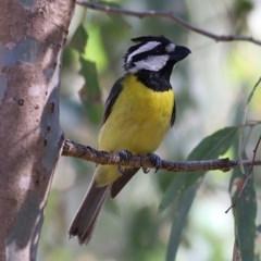 Falcunculus frontatus (Crested Shrike-Tit) at Wonga Wetlands - 29 Nov 2020 by Kyliegw