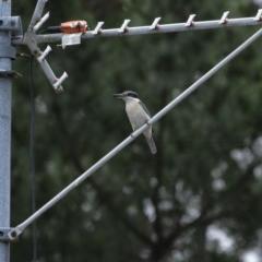 Todiramphus sanctus (Sacred Kingfisher) at - 25 Nov 2020 by Aussiegall