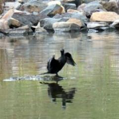 Phalacrocorax sulcirostris (Little Black Cormorant) at Coombs Ponds - 2 Dec 2020 by Hutch68