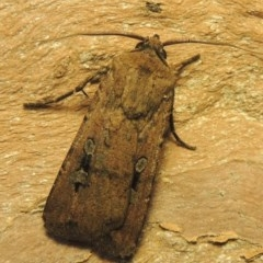 Agrotis infusa (Bogong Moth, Common Cutworm) at Conder, ACT - 10 Nov 2020 by michaelb