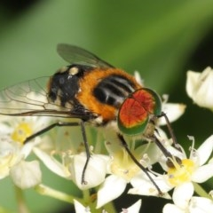 Scaptia (Scaptia) auriflua (A flower-feeding march fly) at ANBG - 1 Dec 2020 by TimL