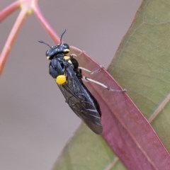 Perga sp. (genus) (Sawfly or Spitfire) at ANBG - 2 Dec 2020 by WHall