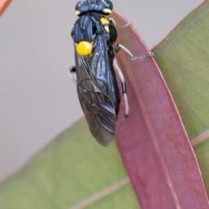 Perga sp. (genus) at ANBG - 2 Dec 2020