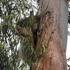 Apis mellifera (European honey bee) at Australian National University - 3 Dec 2020 by SaulC