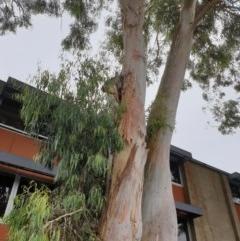 Apis mellifera (European honey bee) at Australian National University - 2 Dec 2020 by SaulC