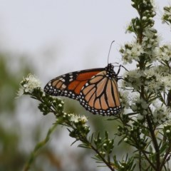 Danaus plexippus (Monarch/Wanderer) at Mount Taylor - 3 Dec 2020 by MatthewFrawley