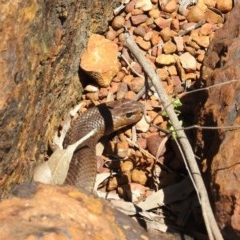 Pseudonaja textilis (Eastern Brown Snake) at ANBG - 2 Dec 2020 by HelenCross