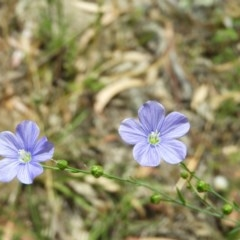 Linum marginale (Native Flax) at Mount Taylor - 3 Dec 2020 by MatthewFrawley
