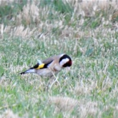 Carduelis carduelis (European Goldfinch) at Wodonga - 3 Dec 2020 by Michelleco
