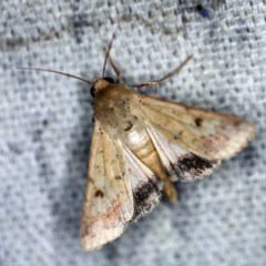 Helicoverpa armigera (Cotton bollworm, Corn earworm) at O'Connor, ACT - 2 Dec 2020 by ibaird
