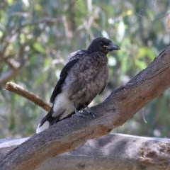 Strepera graculina (Pied Currawong) at Wonga Wetlands - 30 Nov 2020 by Kyliegw