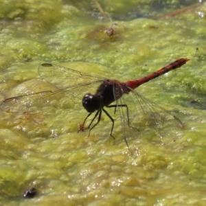 Diplacodes melanopsis at Jerrabomberra Wetlands - 3 Dec 2020