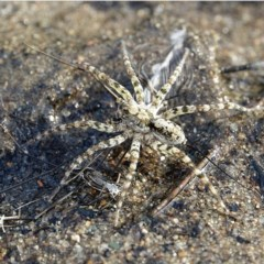 Pisauridae sp. (family) (Water spider) at Stony Creek - 3 Dec 2020 by Ct1000