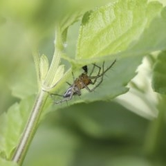 Oxyopes sp. (genus) (Lynx spider) at Higgins, ACT - 17 Oct 2020 by AlisonMilton